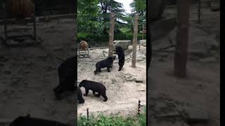 a bear is threatened by another one