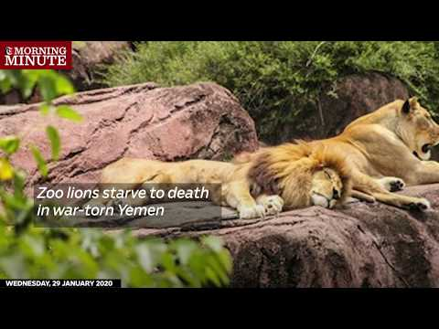 Zoo lions starve to death in war-torn Yemen