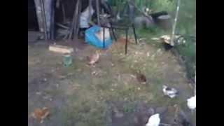 куры , цыплята 1 месяц, №3