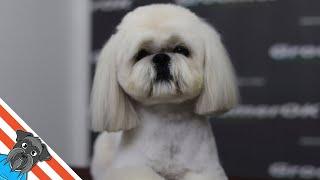 Beautiful Lhasa Apso Haircut Short - Grooming Lhaso Apso