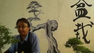 Nebari - Bonsai Shizen BH