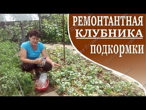 Ремонтантная клубника Подкормки во время плодоношения