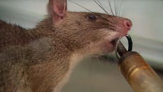 Giant Rats Can Detect Tuberculosis! - Extraordinary Animals - Series 2 - Earth