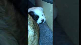 Dalmatian Puppies Videos
