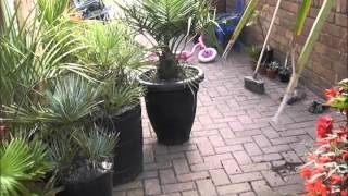 How to repot a small to Medium sized palm. (Jubaea)