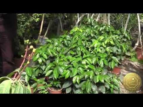 Tour dei Vivai Torre a Milazzo- Le piante di caffè arabica a Milazzo -Quinta parte