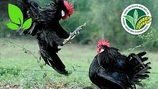 """Bày cách cho gà """"trốn"""" hạn chế tình trạng đánh nhau"""