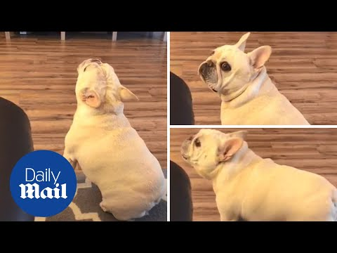 This Doggie is NOT Liking His New Diet!