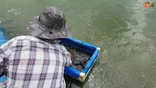 Nuôi Cá Chạch Lấu Trên Bể Lót Bạt | Hướng Dẩn Cách Thay Nước Và Vệ Sinh Bể