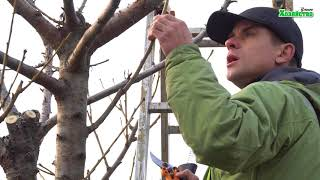 Обрезка черешни осенью видео
