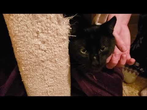 Gethi, an adoptable Domestic Short Hair Mix in Springfield, OR