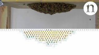 Our recent honeybee swarm study is featured in Nature video