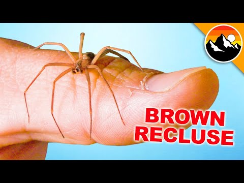 Will it Bite Me?! Handling a Brown Recluse!