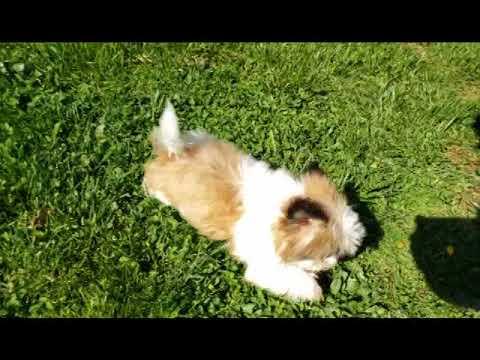 Romeo the Fantastic Shih Tzu Puppy