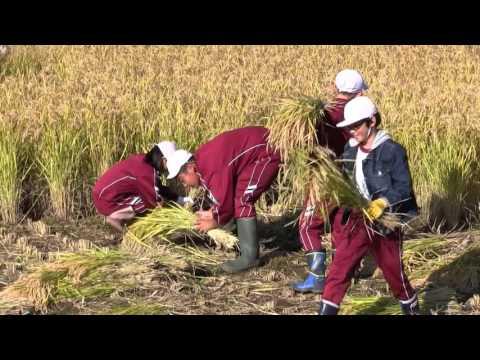 稲刈り体験  田頭小学校