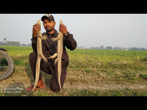 Indian monitor lizard rescue by ram biswas