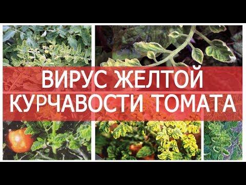 Вирус желтой курчавости листьев томата