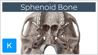 Sphenoid Bone - Definition, Location & Function - Human Anatomy | Kenhub