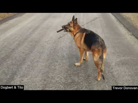 Dogbert The German Shepherd Rescues 2 Little Dogs From A Coyote!
