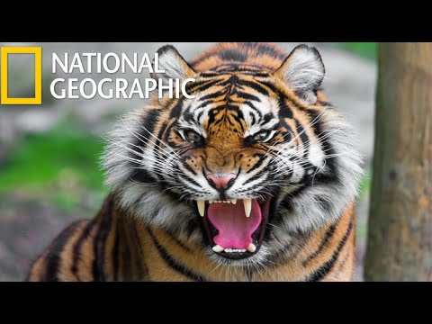 American Tiger  (National Geographic) / HD