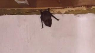 There's a Bat in Dana's Basement
