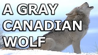 A Gray Canadian Wolf :Wolves Life Habits & Differences Between Wolf & Dog