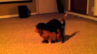 Female dog HUMPS male cat