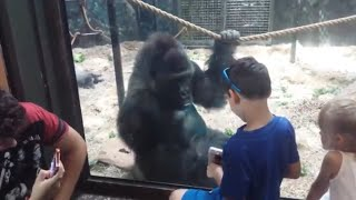 SWEET GORILLA JELANI LOOKING AT PICS WITH LITTLE BOY