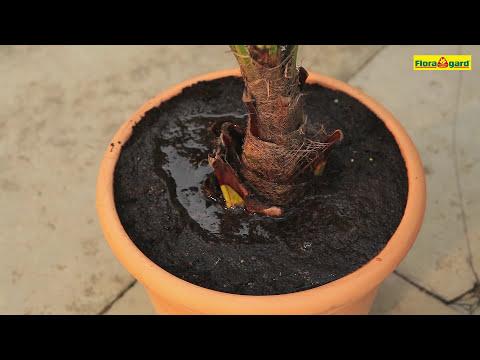 Chinesische Hanfpalme - Einpflanzen in ein Gefäß - Floragard Aktiv Grünpflanzen-  und Palmenerde