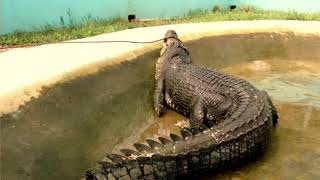 Lolong The Biggest Crocodile