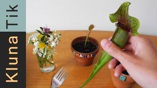 Kluna eating carnivorous PLANTS! R.I.P. Charlie?!  - Kluna Tik Dinner #18   ASMR eating sounds