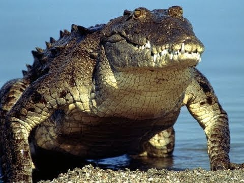 The Incredible World of Crocodiles - National Geographic Documentary