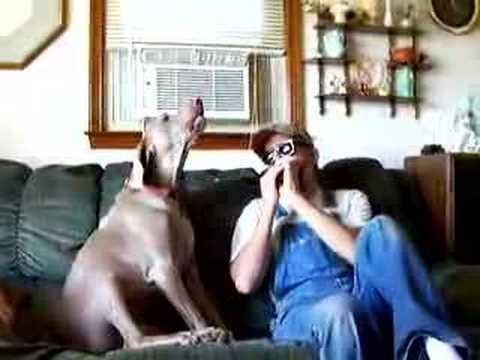 Bluesowy pies