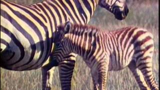 Живая энциклопедия - Африканские слоны, обезьяны, зебры