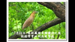 黑冠麻鷺育雛全記錄