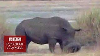 У носорога в Зимбабве на морде застряла шина