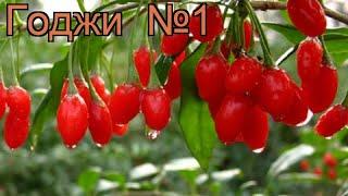 Годжи лечебная №1 (lycium barbarum) 🌿 лечебная годжи №1 обзор: как сажать, саженцы годжи №1