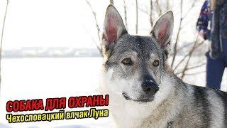 Чехословацкий влчак Луна | Собака для охраны