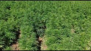 Anadolu'nun bitkisi kenevirin ıslah çalışmaları sürüyor