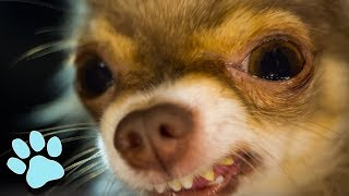 Funniest Chihuahuas of August 2018 | Try Not To Laugh Challenge | That Pet Life