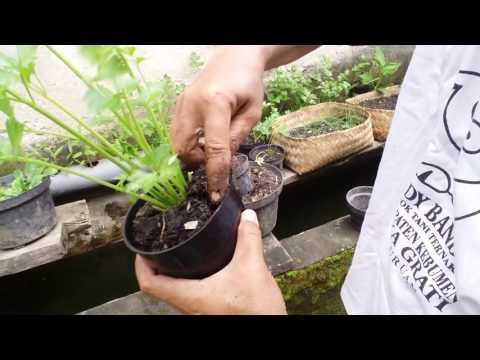 Video Cara Perbanyakan Tanaman Seledri dalam Pot dengan Mudah
