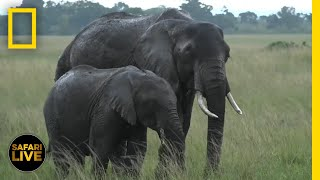 Safari Live - Day 384 | National Geographic thumbnail