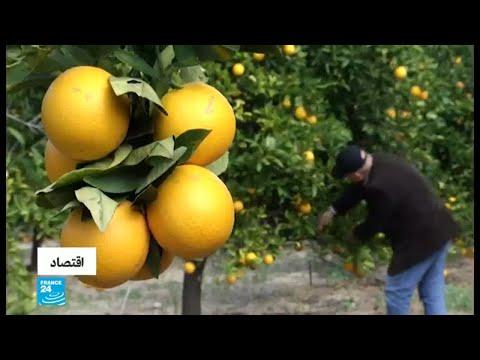 العرب اليوم - شاهد: زراعة الحمضيات تشهد تراجعًا في قطاع غزة