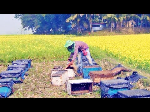, title : 'Bee collect honey in mustard flower .. honey collection in flower