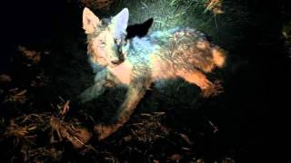 Coyote 2-25-2016 (Second of the Day, Dispatch Included)