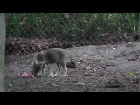 Wolf Pup Caching & Regurgitation