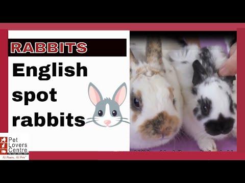 , title : 'RABBITS English spot rabbits characteristics