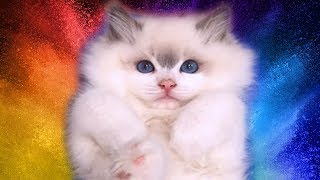 Rosey- Ragdoll Kitten From Birth To 12 Months