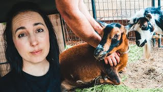 Something's VERY wrong with Tilly the goat 😢 ❤️ (sickness & quarantine on our farm)