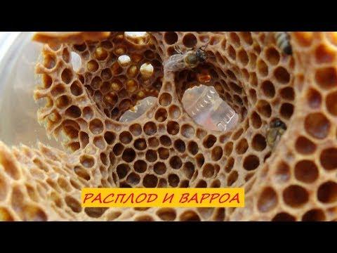 Лечение пчелиного расплода от клеща варроа